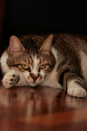 A cat, resting on the floor Stock Photo - 1416657