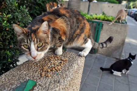 Feeding Stray Cats - A spayed grey cat eating.  Taking responsibility for cats welfare including responsibility for their neutering or spaying  as well as for their health.