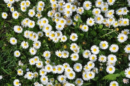 Daisies background - A field of daisies Stock Photo