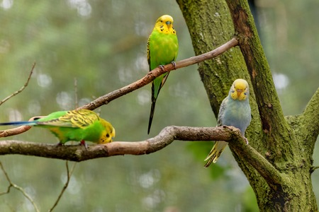 Three Budgerigars, long-tailed parrots, with yellow, blue, green feathers are sitting on the branch. Melopsittacus undulatus. Close-up portrait