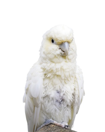 Philippine Cockatoo. Close up Isolated Banco de Imagens
