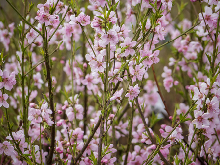 Ice peach tree branch in pink bloom. Spring season. Fruit trees for gardens. Close up Stock Photo