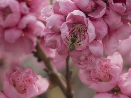 Honey Bee in blooming pink flower. Spring landscape. Interior foto. Plants for gardens. Close up