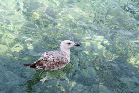 Seagull floating on the waves. Clear transparent turquoise water of  Adriatic Sea. Bay Gertsegnovska, Montenegro