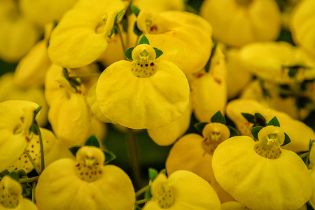 Calceolaria, ladys purse, slipper flower, pocketbook flower, slipperwort. Ornamental yellow hybrid for gardens, parks. CLose up Imagens