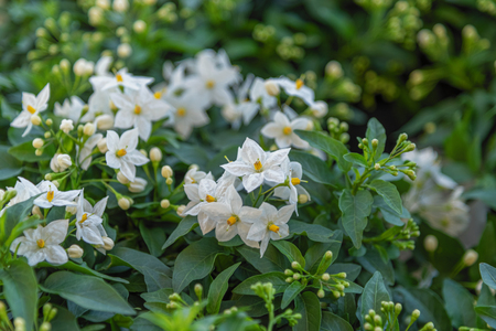 Solanum laxum, Solanum jasminoides, commonly, potato vine, potato climber, jasmine nightshade. Evergreen ornamental garden plant from South America for garden, park, fencing