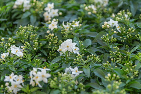 Solanum laxum, Solanum jasminoides, commonly, potato vine, potato climber, jasmine nightshade. Evergreen ornamental garden plant for garden, park, fencing. Landscape design concept Stock Photo