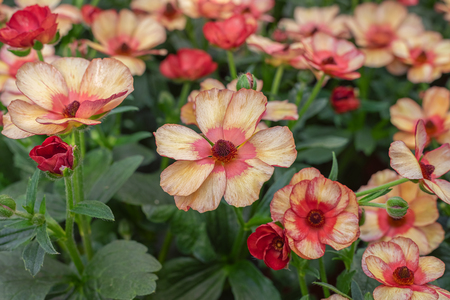 Ranunculus asiaticus, the Persian buttercup. Popular ornamental plant for gardens, parks and floristry. Landscape design 写真素材