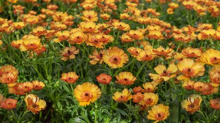 Ranunculus asiaticus, the Persian buttercup. Popular ornamental plant for gardens, parks. Landscape design concept. Close up