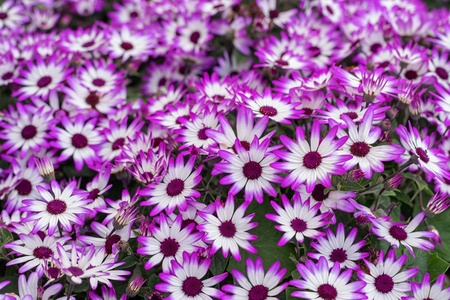 Senetti-Cinerarien, Pericallis hybrida, cineraria, florist's cineraria, common ragwort. Ornamental lila plant for landscape design. Close up