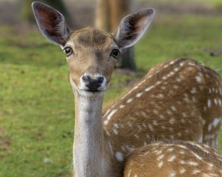 Sika deer (Cervus nippon) also known as the spotted deer or the Japanese deer. Close up. Wildlife and animal photo Imagens