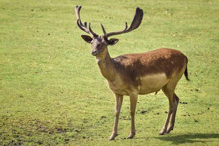 Red deer (Cervus elaphus) is one of the largest deer species. Wildlife and animal photo Imagens