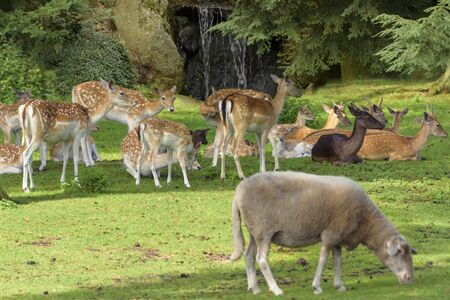 Herd of Sika deer (Cervus nippon) also known as the spotted deer or the Japanese deer. Wildlife and animal photo