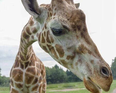 Northern giraffe, Giraffa camelopardalis, three-horned giraffe looking at the camera. Close up Stock Photo