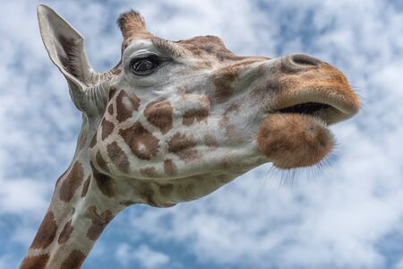 Northern giraffe, Giraffa camelopardalis, three-horned giraffe. The head of giraffe against the blue sky. Watching of wildlife in safari. Interior photo Unusual perspective view from below
