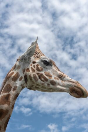 Elegant and exalted giraffes, Giraffa camelopardalis. The head and the long neck of giraffe against the blue sky. Portrait Interior vertical photo