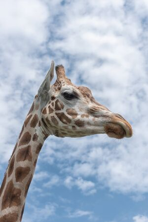 Elegant and exalted giraffes, Giraffa camelopardalis. The head and the long neck of giraffe against the blue sky. Close up Interior vertical photo