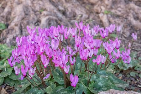 Cyclamen, alpine flower, perennial flowering plant in outdoor. Spring blooming in Israel. Wild flower background
