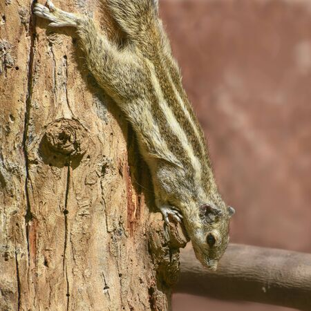 Northern palm-squirrel, Funambulus pennantii, five-striped palm squirrel on the tree Imagens