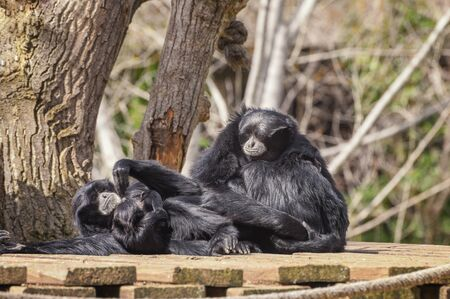 Siamang, Symphalangus syndactylus with long, gangling arms and long, dense, shaggy hair. Portrait of siamang family. Animal and Wildlife