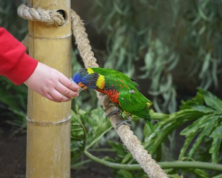 Biak lorikeet, Trichoglossus haematodus rosenbergii, Rosenbergs lori. A tribe of small to medium-sized arboreal parrots with brush-tipped tongues for feeding on nectar of blossoms, fruits, berries