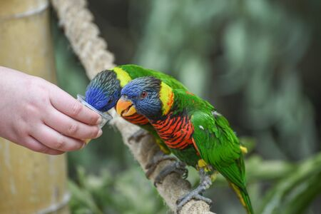 Biak lorikeet, Trichoglossus haematodus rosenbergii, Rosenbergs lori. Small to medium-sized parrots with brush-tipped tongues for feeding on nectar of blossoms, fruits, berries