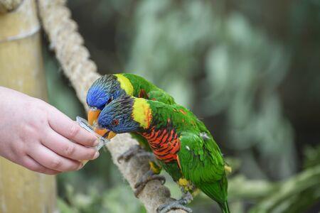 Biak lorikeet, Trichoglossus haematodus rosenbergii, Rosenbergs lori. Feeding parrots. Communication of children with animals. Close up 写真素材