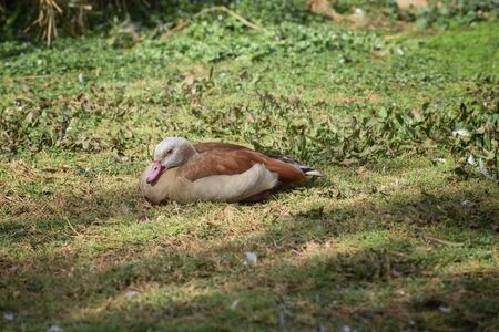 Egyptian goose, Alopochen aegyptiaca is on the grass glade. Landscape. Concept of wild animals world