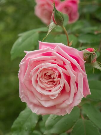 Garden roses, ornamental, popular flowering plants in the world. Large size of flower, wide range of colours. Climbing and rambling roses. Interieur photo. Old English rose, Rose Heritage. Close up