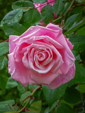 Garden roses, ornamental, popular flowering plants in the world. Large size of flower, wide range of colours. Climbing and rambling pink roses. Interieur photo. Close up 写真素材