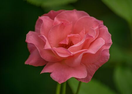 Garden roses, ornamental, popular flowering plants in the world. Large size of flower, wide range of colours. Interior photo of pink rose. Close up