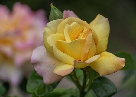 Hybrid Tea rose, Peer Gynt. Garden roses, ornamental, popular flowering plants in the world. Large size of flower, wide range of colours. Interieur photo. Close up 写真素材