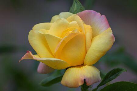 Hybrid Tea rose, Peer Gynt. Garden roses, ornamental, popular flowering plants in the world. Large size of flower, wide range of colours. Interieur photo