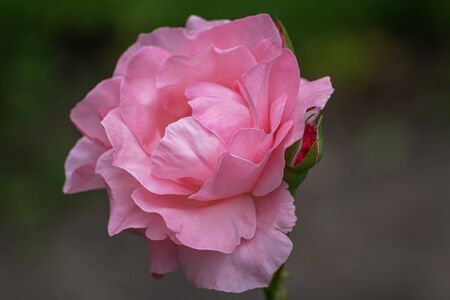 Interior photo of pink rose. Garden roses, ornamental, popular flowering plants in the world. Large size of flower, wide range of colours. Close up 写真素材