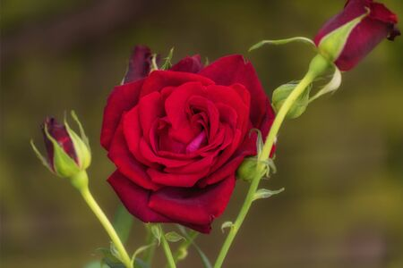 Bloom of a purpur rose. Garden roses, ornamental, popular flowering plants in the world. Close up 写真素材