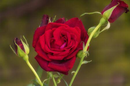 Bloom of a purpur rose. Garden roses, ornamental, popular flowering plants in the world. Close up Zdjęcie Seryjne