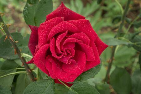Bud of a purpur rose. Garden, ornamental, popular flowering roses. Close up 写真素材