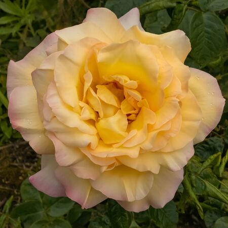 Interieur photo of blooming yellow flower Hybrid Tea rose, Peer Gynt. Garden roses, ornamental, popular flowering plants in the world. Large size of flower, wide range of colours. Close up 写真素材