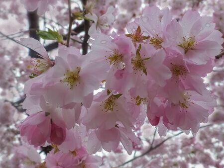 Cherry Blossom, Sakura. Photo of beautiful cherry blossom for interior. Spring landscape