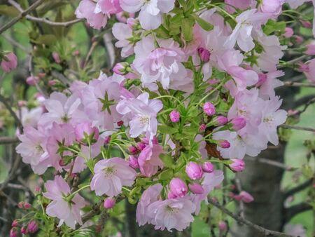 Cherry Blossom, Sakura. Beautiful cherry blossom in spring. A tree befor my window. Background Zdjęcie Seryjne