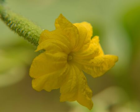 Yellow cucumber flower. Close up Background Archivio Fotografico - 130131816