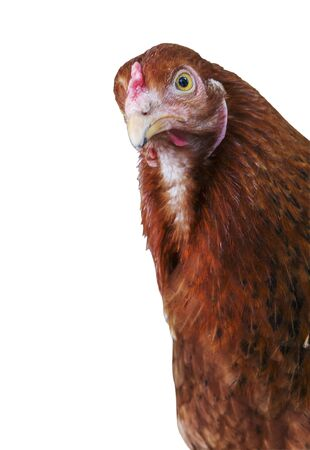 Hen in the domestic yard, a domesticated fowl is peeking out of the photo. Isolated. Farm scene