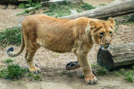Asian lion, Panthera leo persica Portrait