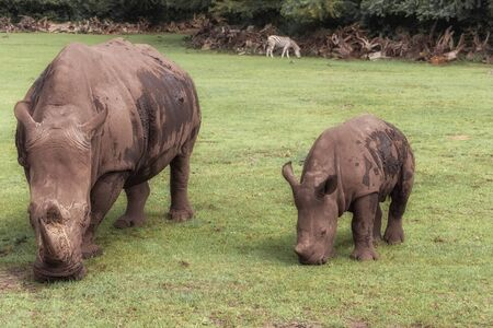 White rhinoceros, square-lipped rhinoceros, Ceratotherium simum with young rhino in the meadow. Animals in wildlife. Landscape