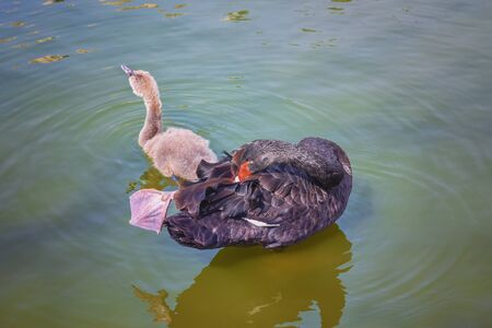 Black swan, Cygnus atratus with grey chick. Portrait. Spring Landscape. Concept of wild animals life