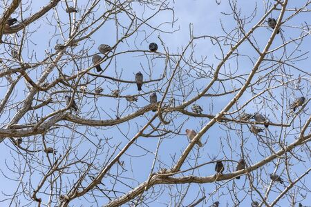 Flock of pigeons perched on a tree. Spring sky landscape