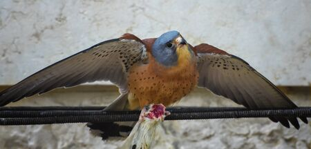American kestrel, Falco sparverius, the smallest falcon spreads wings and holds a headless mouse in paws. Portrait