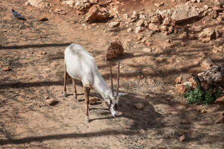 Arabian oryx, Oryx leucoryx. Animal and Wildlife Portrait Stockfoto