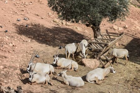 Herd of arabian oryx, Oryx leucoryx. Animal and Wildlife