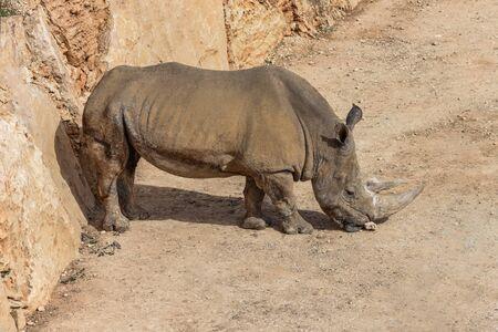 Rhinoceros, rhino Animal and Wildlife Portrait